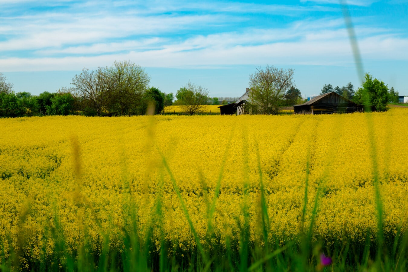 agriculture, rapeseed, yellowish, field, farmhouse, farm, ranch, meadow, rural, landscape