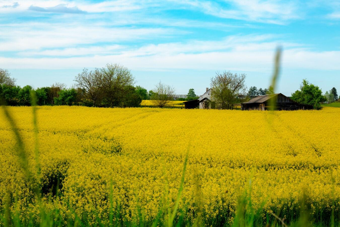 Feld, Raps, Ackerland, majestätisch, Landschaft, idyllisch, Samen, Bauernhof, Landwirtschaft, Wiese