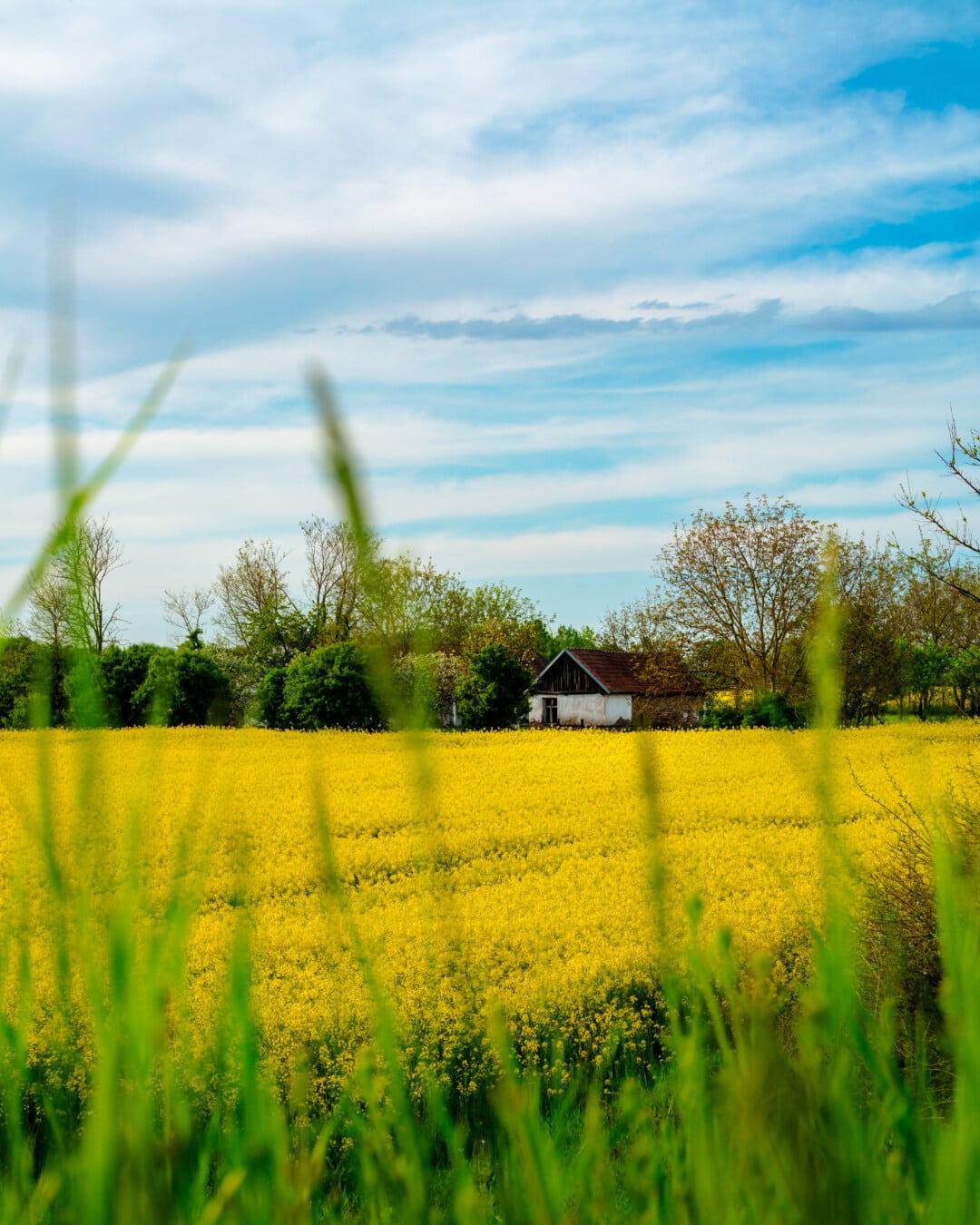 ranch, farmhouse, farmland, rapeseed, agriculture, plant, meadow, farm, landscape, rural