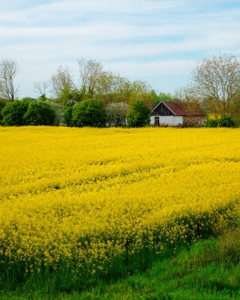 farmhouse, shed, farmland, decay, barn, rural, rapeseed, landscape, meadow, field