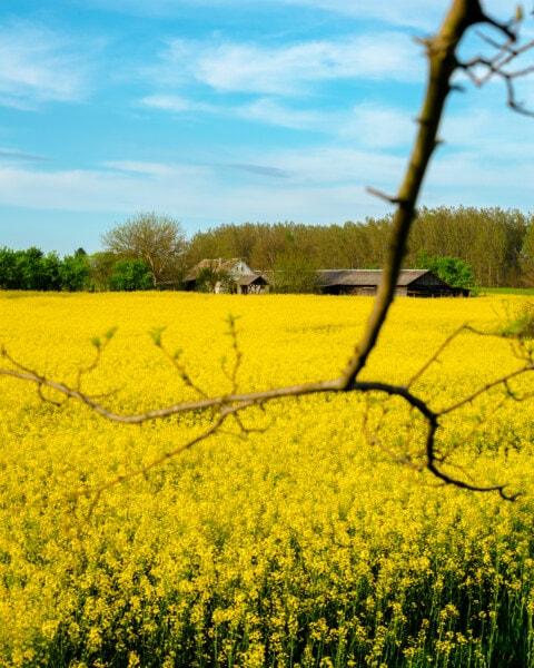 bondehus, stald, landbrugsjord, gård, gamle, rapsolie, landskab, natur, felt, landbrug