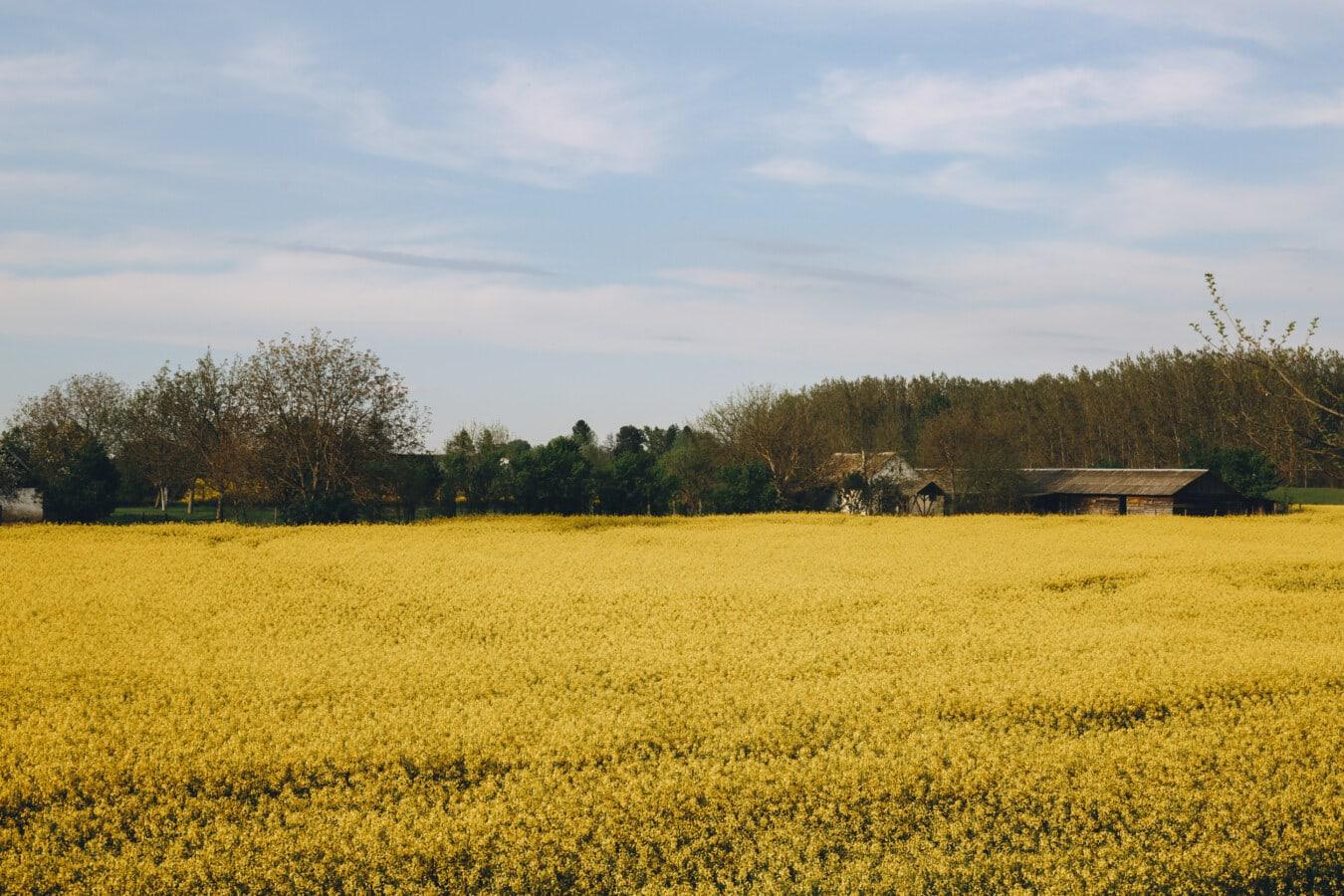 Ріпак, літнього сезону, сільськогосподарські, поле, Сільське господарство, сільськогосподарські угіддя, будинок, ферми, краєвид, природа