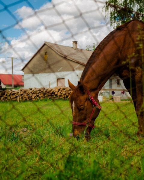 паша, кон, жребец, селска къща, селски, животните, село, трева, коне, ферма