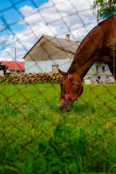 кон, светло кафяв, главата, животните, паша, трева, природата, кавалерия, лято, на открито