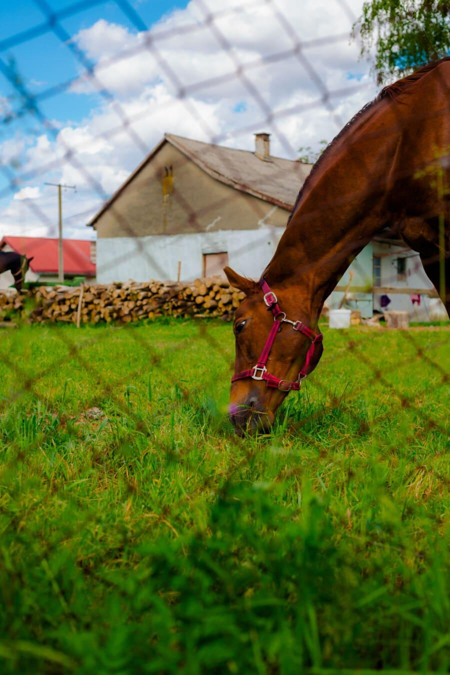 cheval, brun clair, tête, animal, pâturage, herbe, nature, cavalerie, été, à l'extérieur