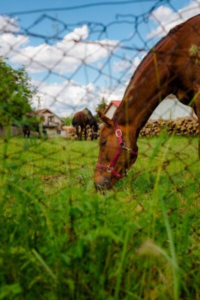 кон, главата, животните, паша, ограда, проводници, трева, кавалерия, природата, ферма