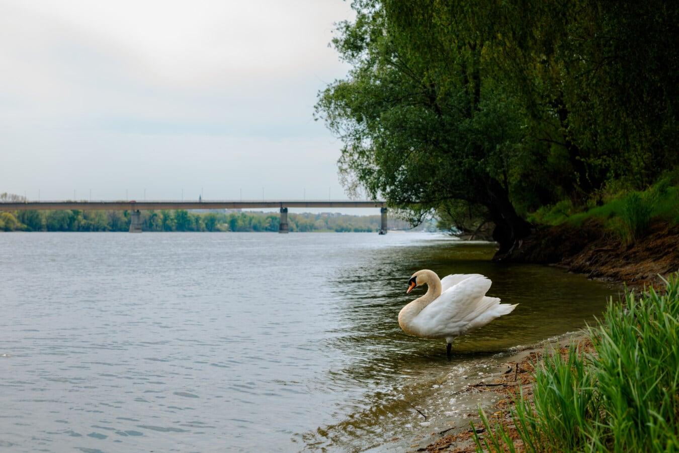 white, swan, side view, bird, riverbank, ecology, river, aquatic bird, water, lake