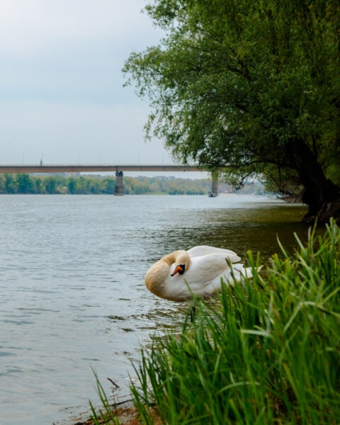 zwaan, grote, oever van de rivier, rivierbedding, water, oever, lakeside, meer, vogel, natuur