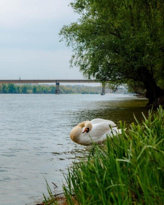 lebădă, mare, malul râului, albia râului, apa, mal, pe malul lacului, Lacul, pasăre, natura