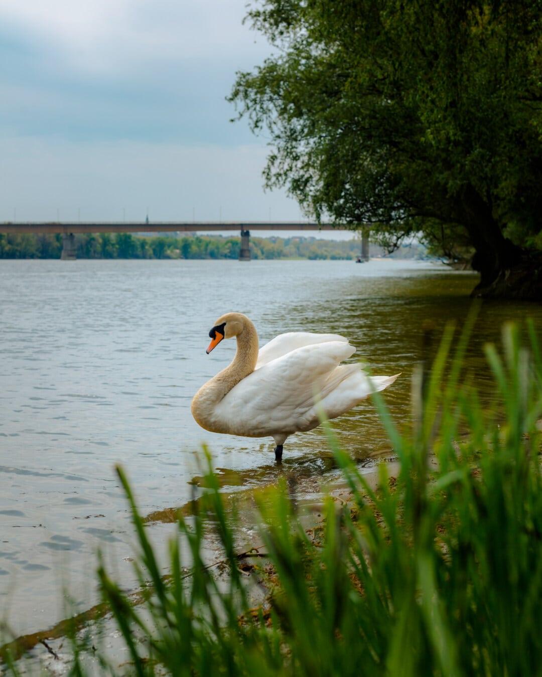 labud, sa strane, stoji, obala rijeke, ptica, ptice vodarice, jezero, vodena ptica, voda, rijeka