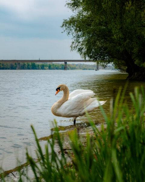 Лебідь, вид збоку, стоячи, берег річки, птах, водоплавних птахів, озеро, водні птах, води, Річка