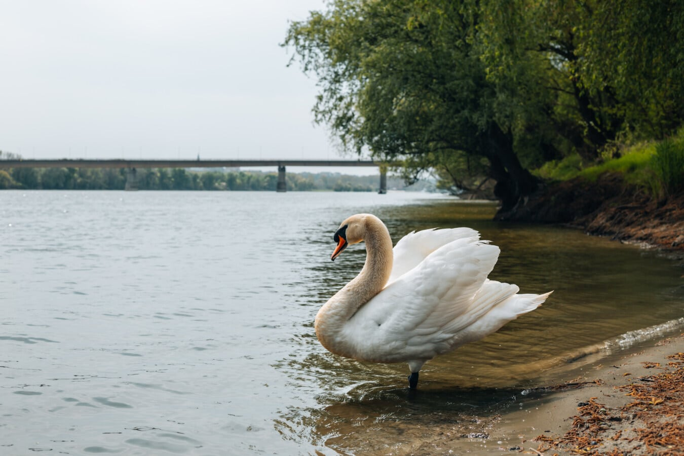 vogel, zwaan, prachtige foto, oever van de rivier, dier, Zijaanzicht, dichtbij, dieren in het wild, water, watervogels