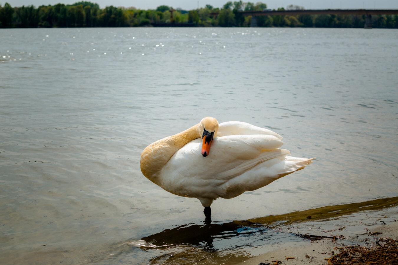 αυχένα, Κύκνος, πουλί, από κοντά, στέκεται, υδρόβιων πουλιών, Λίμνη, νερό, υδρόβια πτηνά, Ποταμός
