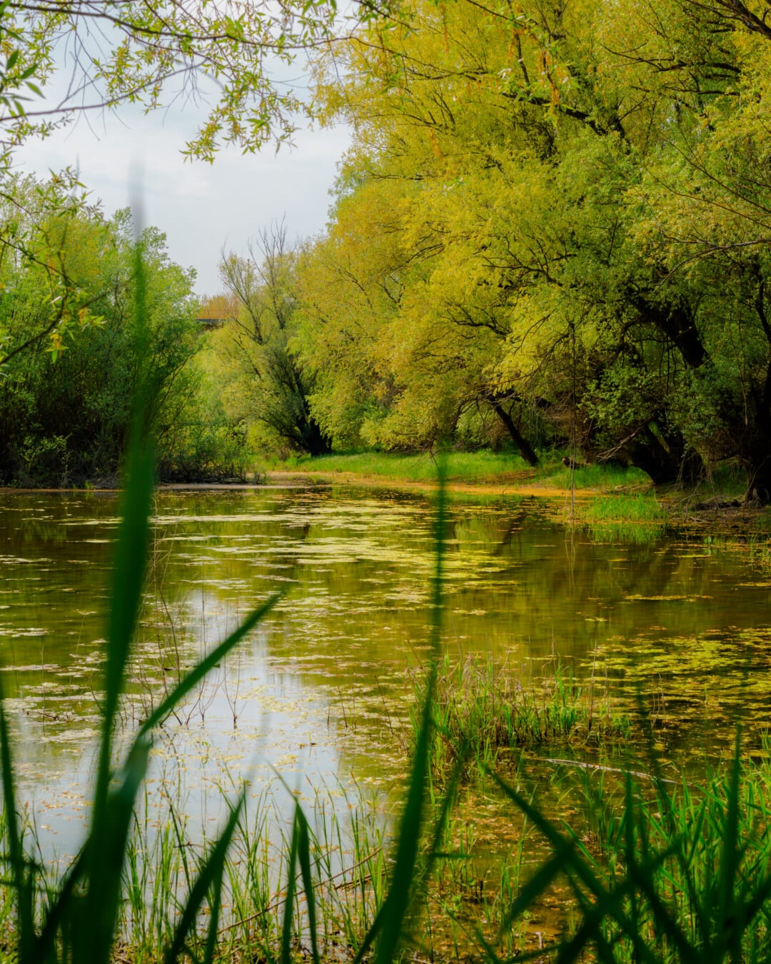 swamp, willowherb, tree, forest, land, wetland, water, pool, lake, landscape