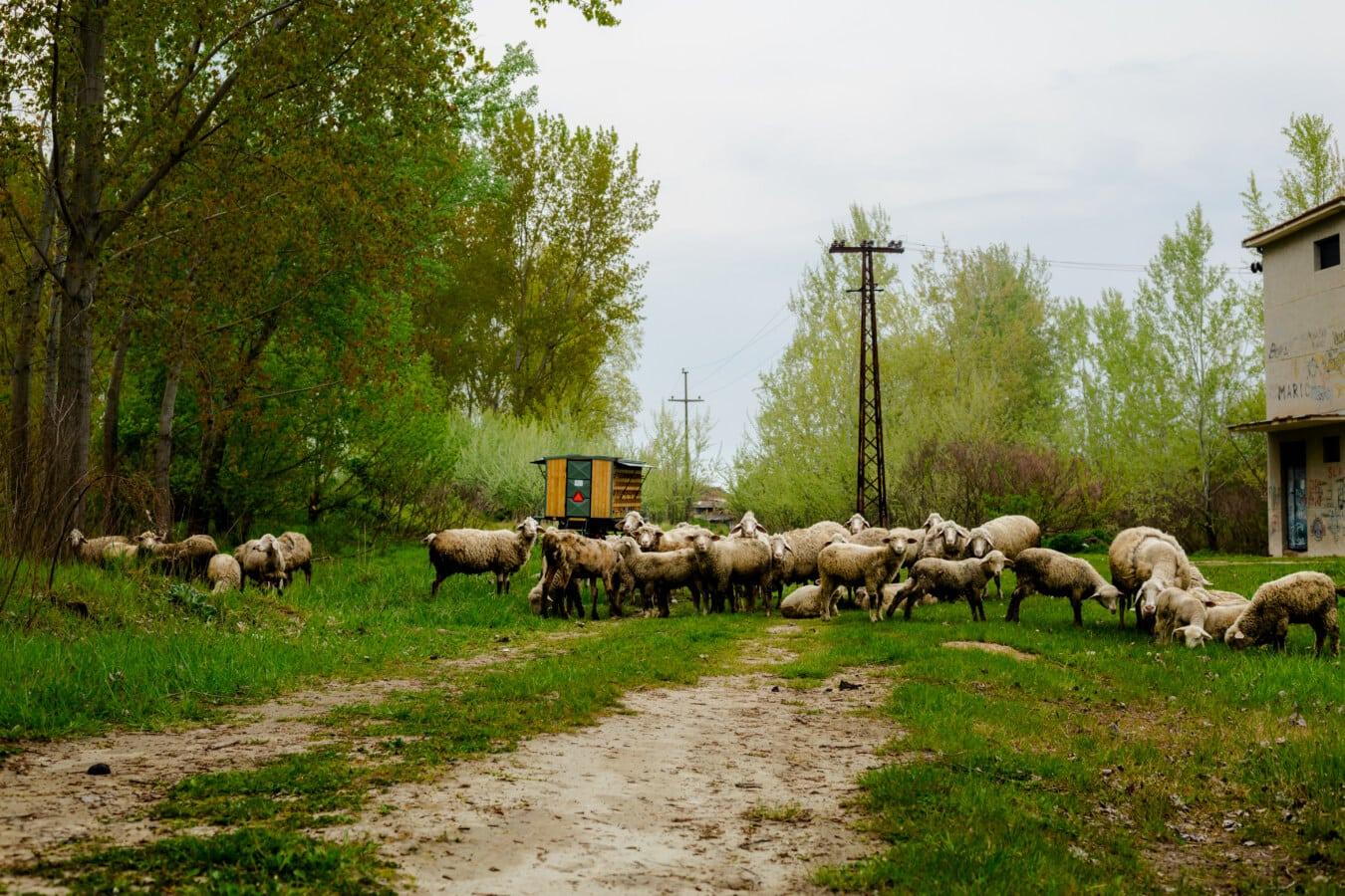 Schafe, des ländlichen Raums, Dorf, Straße, Bauernhof, Ranch, Gras, Vieh, Landschaft, Landwirtschaft