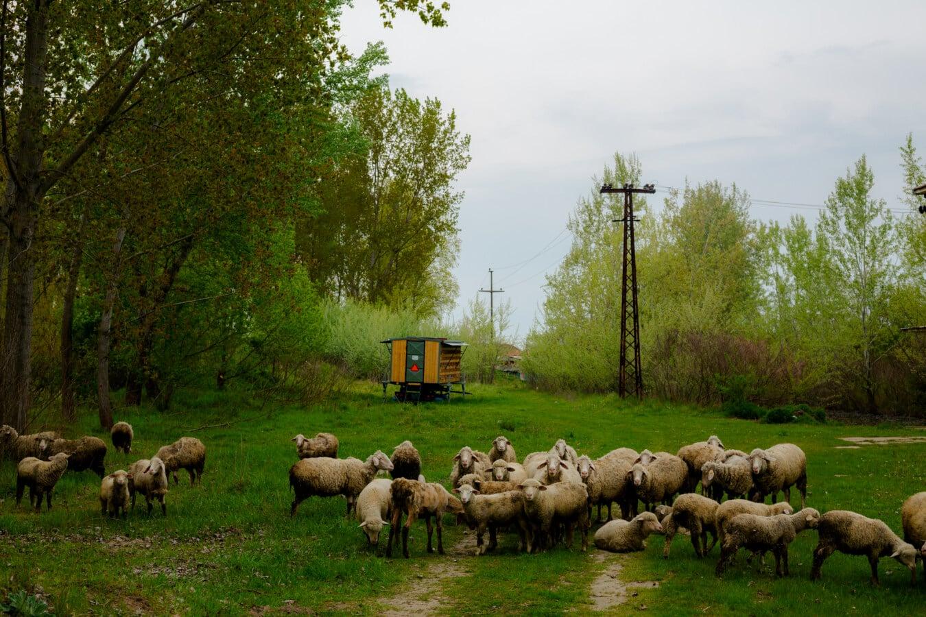 animals, sheep, livestock, lamb, cattle, farm, landscape, grass, agriculture, tree