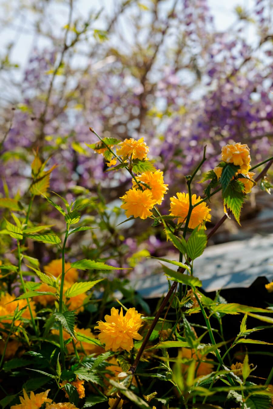 orange yellow, shrub, spring time, branches, flowers, yellow, leaf, herb, flower, nature