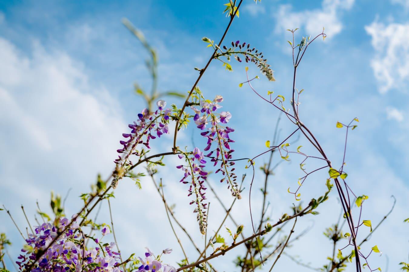 bahar zamanı, Akasya, morumsu, çiçekler, dal, Şube, bitki, yaprak, ağaç, çiçek