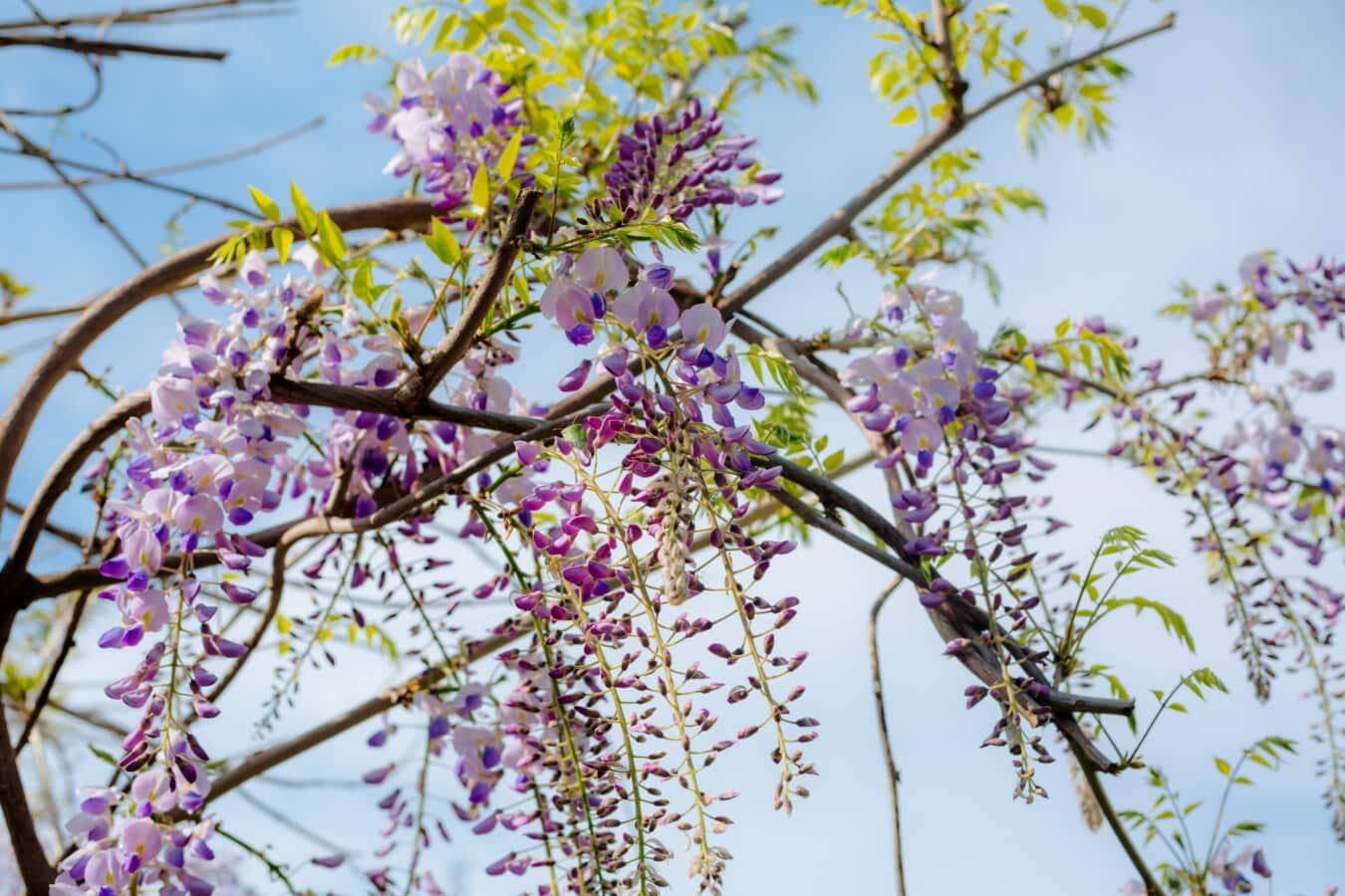 Akazie, Garten, Botanische, Flora, Natur, Struktur, Ast, Blume, Blatt, Farbe