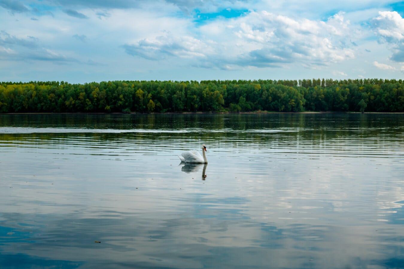 nuages, au bord du lac, cygne, nature, réflexion, Lac, eau, oiseau, rivière, été