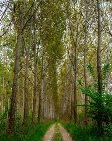 sentier de la forêt, paysage, peuplier, feuille, parc, Saule, bois, forêt, arbre, nature