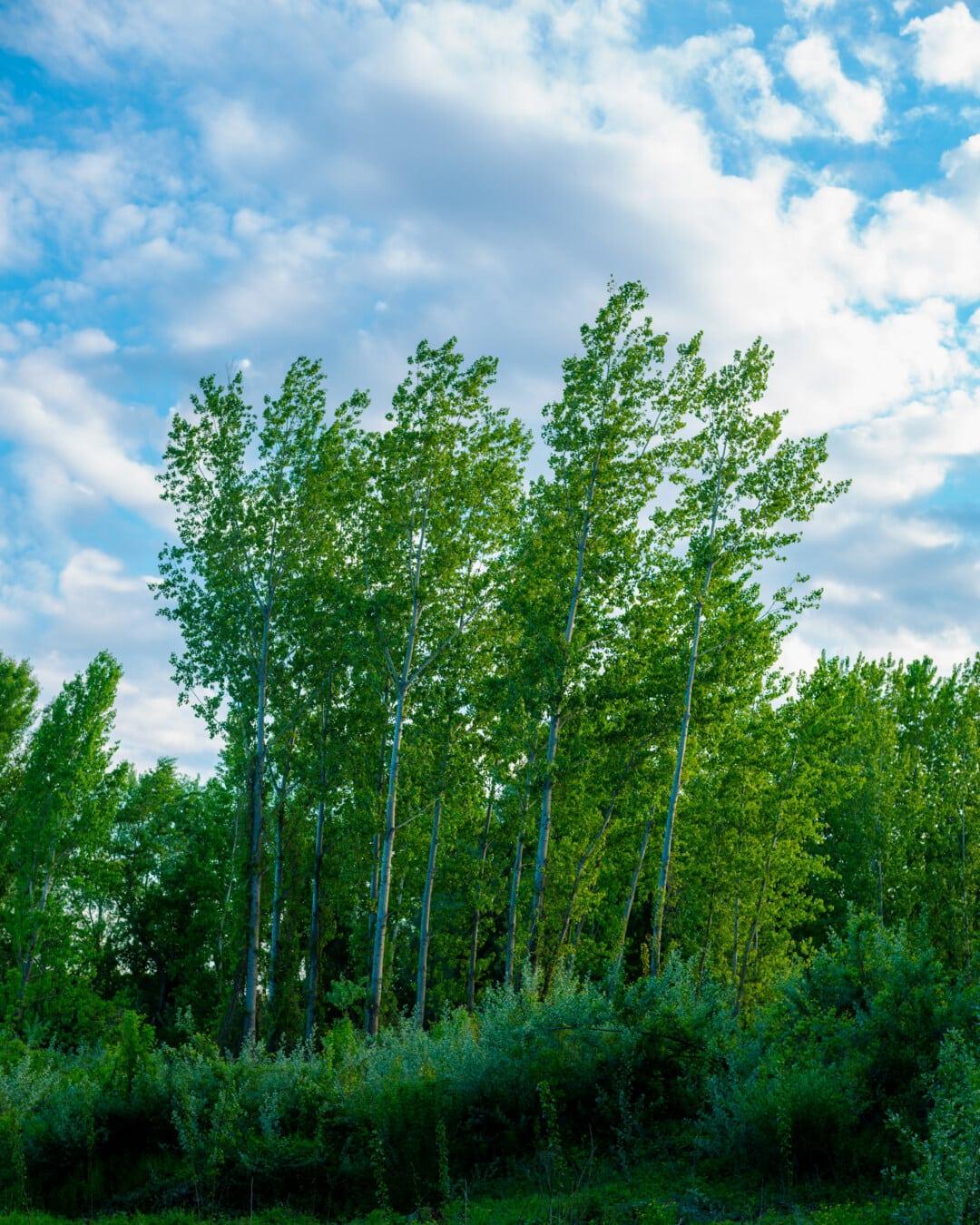 arbres, verdure, peuplier, feuilles vertes, vent, ciel bleu, printemps, feuille, bois, forêt