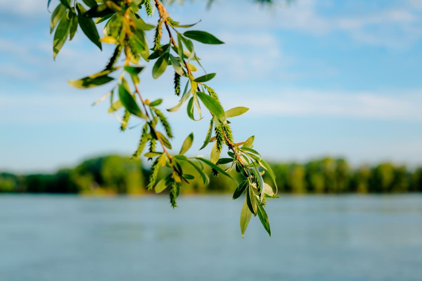 brindille, feuilles vertes, rivière, berge, en plein air, arbre, plante, nature, feuille, eau
