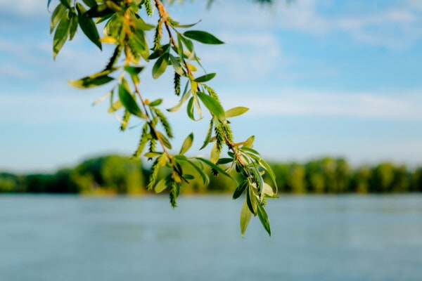 branchlet, green leaves, river, riverbank, outdoor, tree, plant, nature, leaf, water