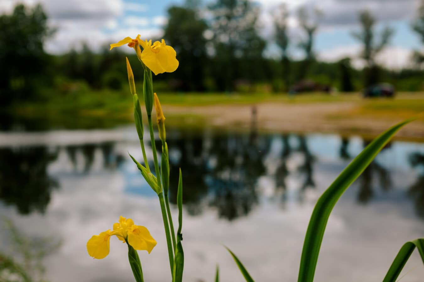 yellow leaves, yellowish, wildflower, lakeside, spring, flowers, nature, garden, plant, flower