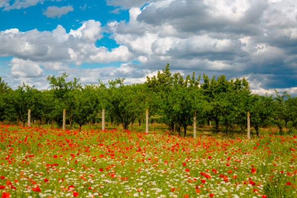 trees, agriculture, orchard, fence, poppy, grass plants, meadow, field, idyllic, landscape