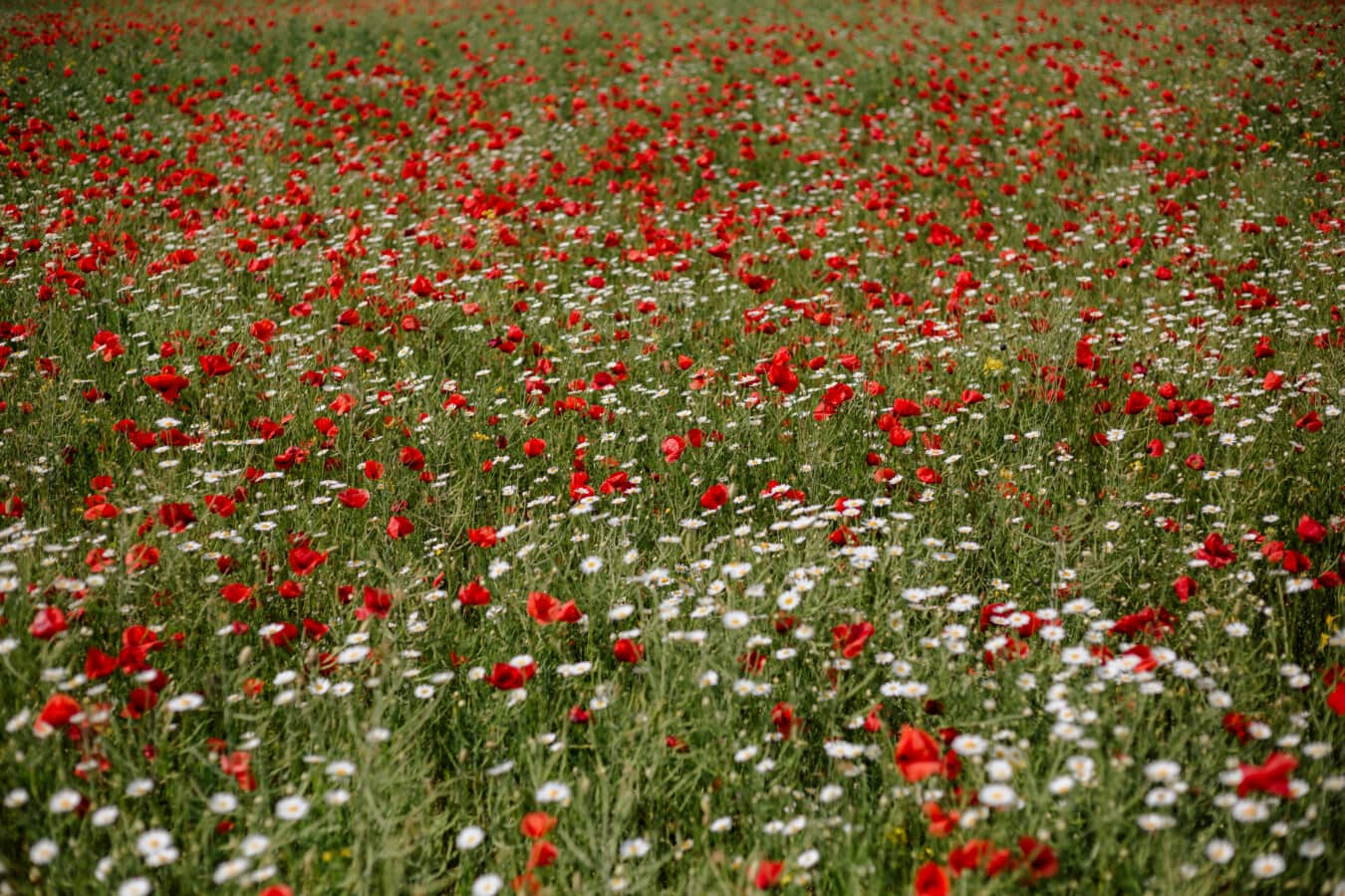 polje, Mak, travnati, trava biljka, ljeto, ruralni, cvijeće, biljka, proljeće, cvijet