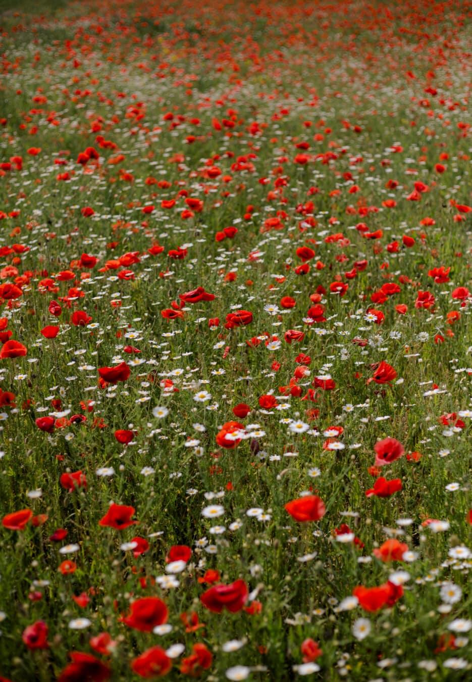 Blumen, rötlich, Mohn, Feld, grasbewachsenen, Wildblumen, Gras, Anlage, Sommer, des ländlichen Raums