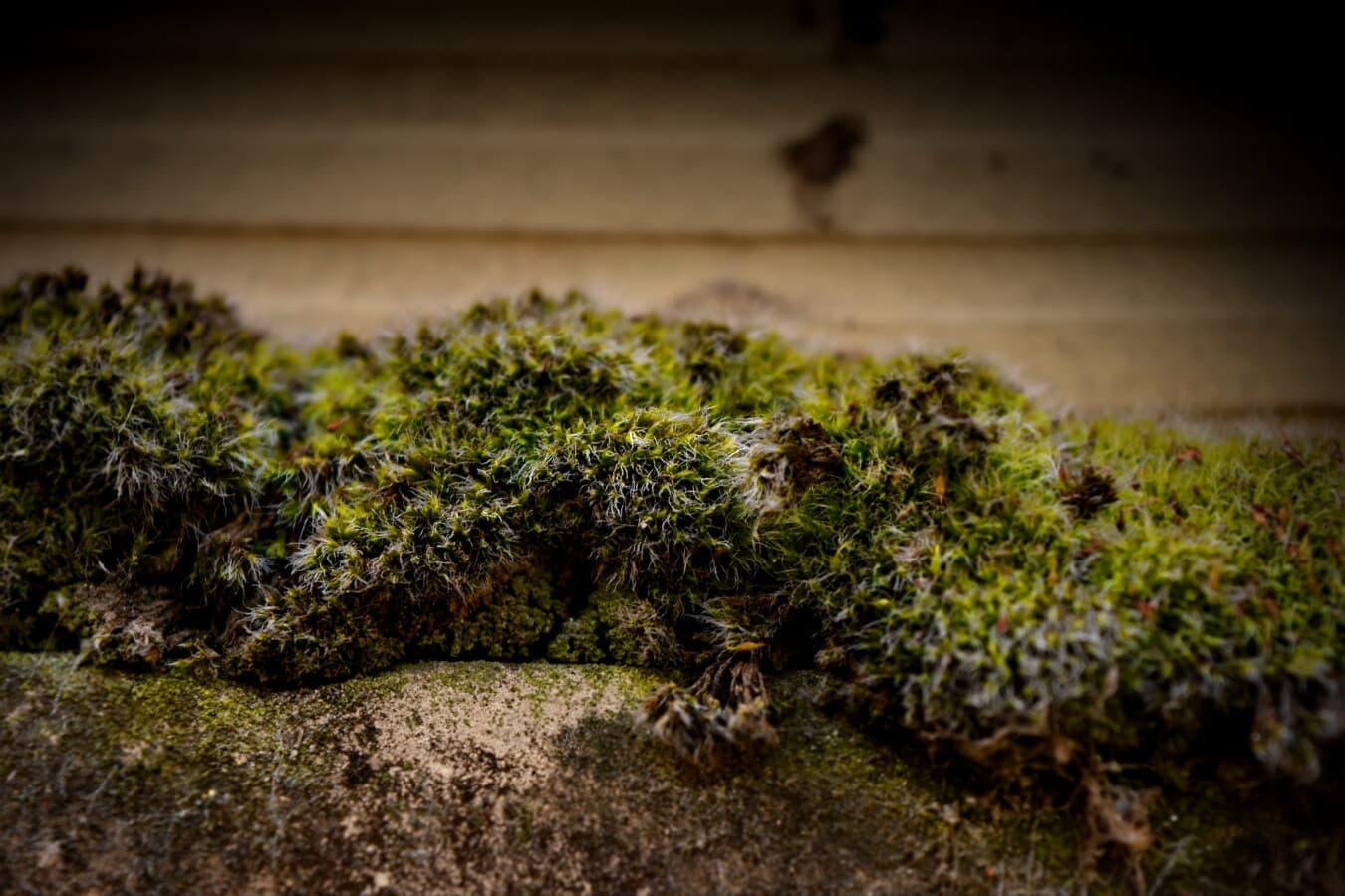 Flechten, Moos, Organismus, Leben, aus nächster Nähe, Anlage, Natur, Kraut, Flora, im freien