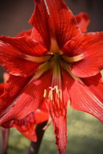 amaryllis, reddish, pistil, petals, macro, nature, flower, bright, stamen, leaf