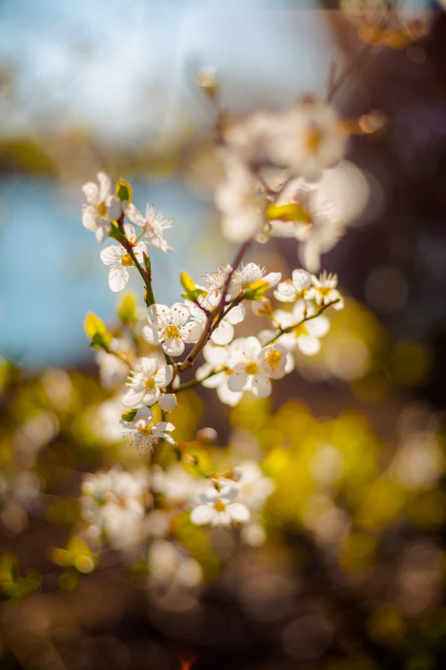 ensoleillée, météo, printemps, branches, fleur blanche, verger, arbre fruitier, branche, jardin, printemps