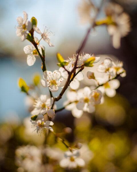spring time, branches, white flower, sunny, nature, spring, plant, branch, flower, blossom