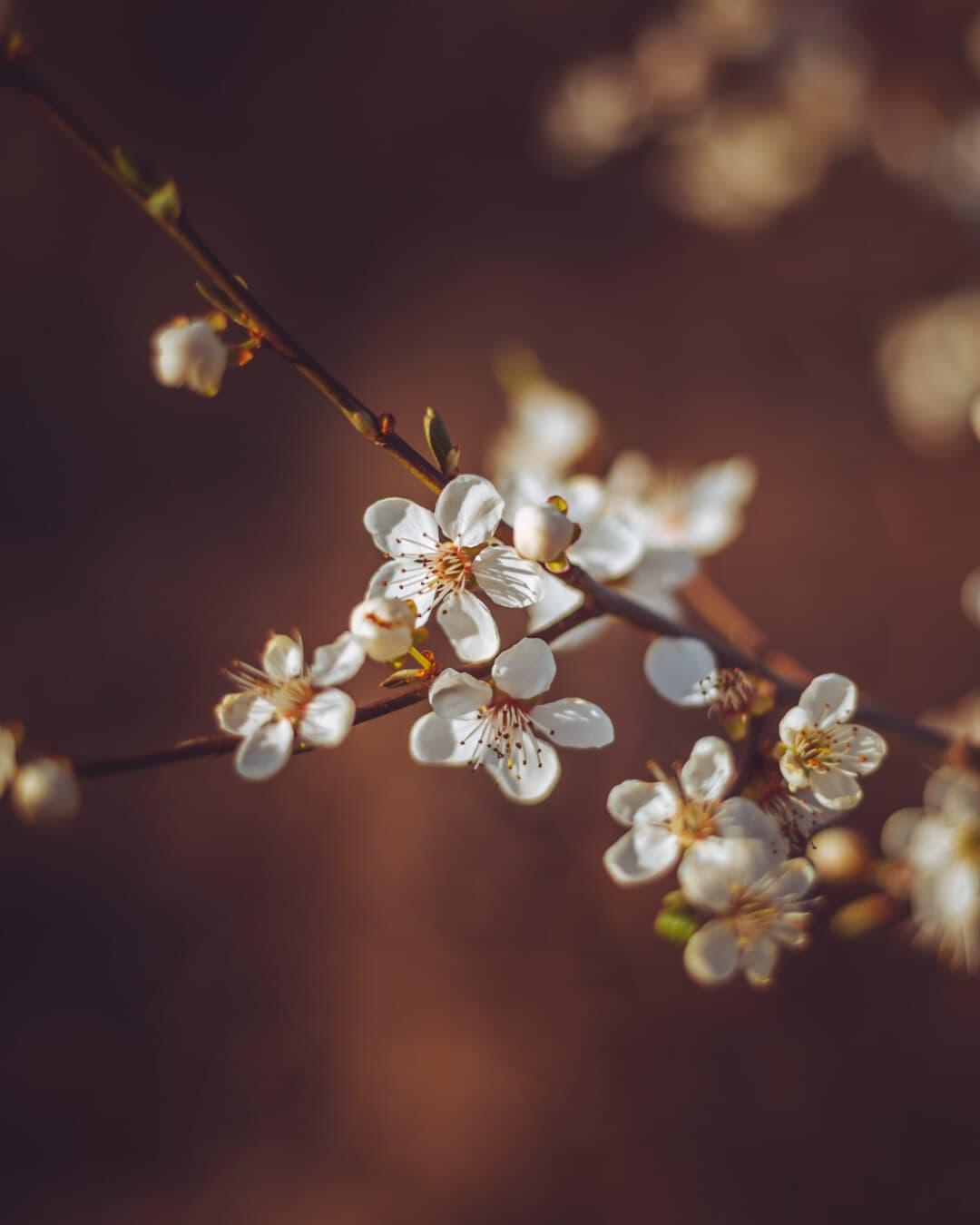 tempo de primavera, pomar, árvore de fruta, foco, flor branca, flor em botão, árvore, ameixa, natureza, flor