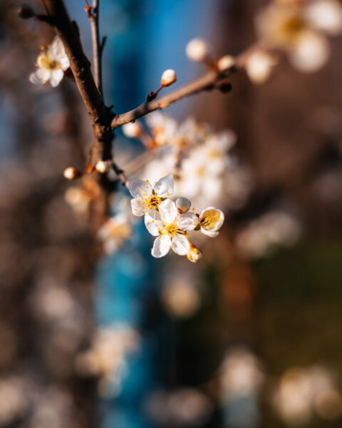 spring time, branches, focus, flower bud, flower, herb, blossom, plant, tree, branch