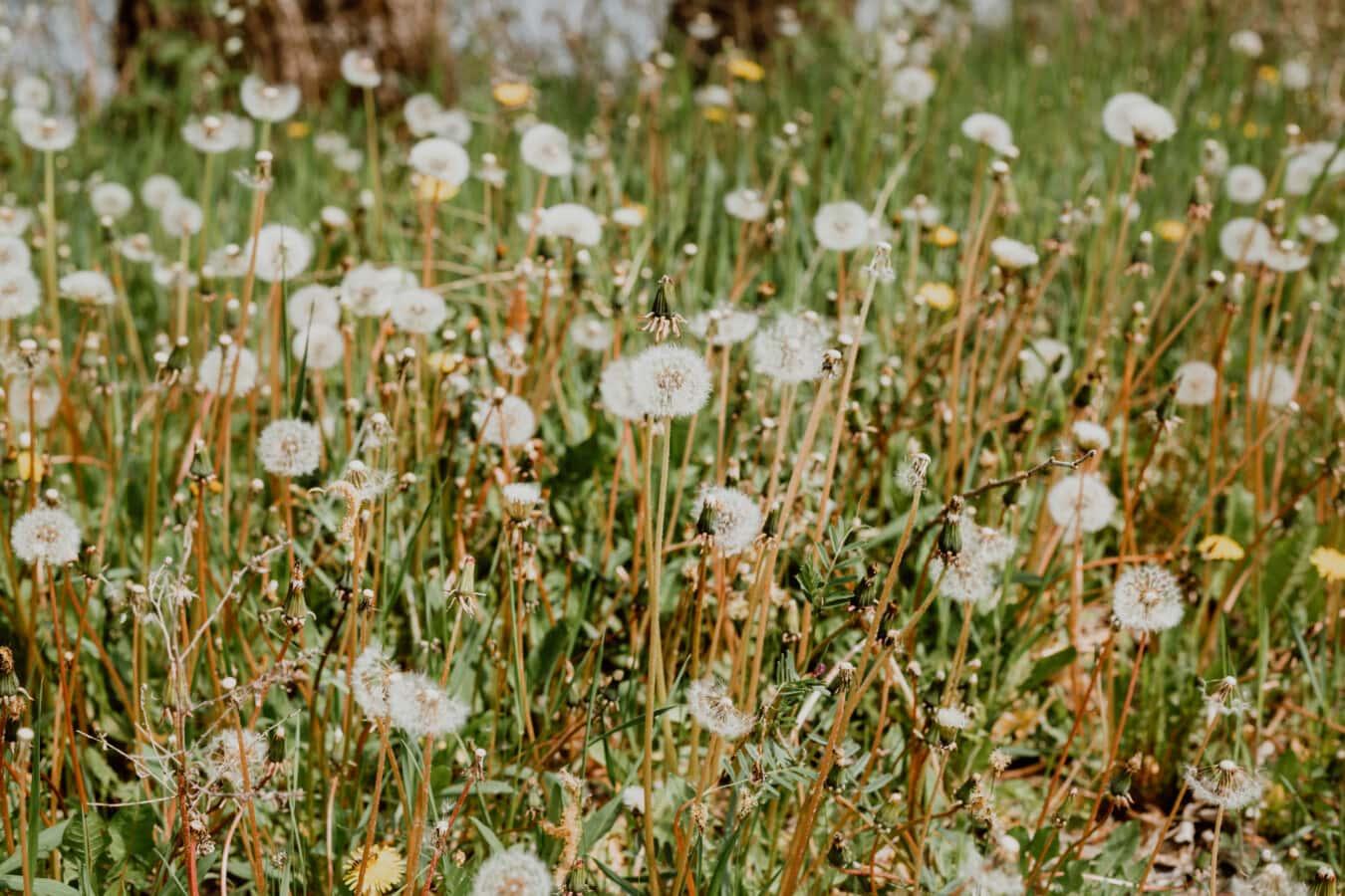 Dandelion, musim panas, berumput, cerah, ramuan, musim panas, tanaman, alam, rumput, bunga
