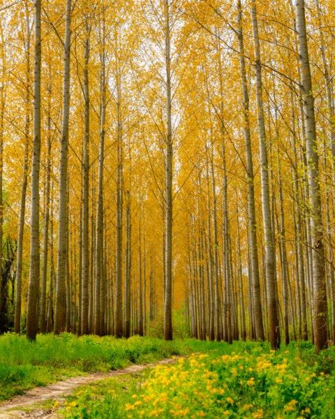 saison de l'automne, peuplier, chemin forestier, paysage, forêt, parc, automne, arbre, bois, feuille