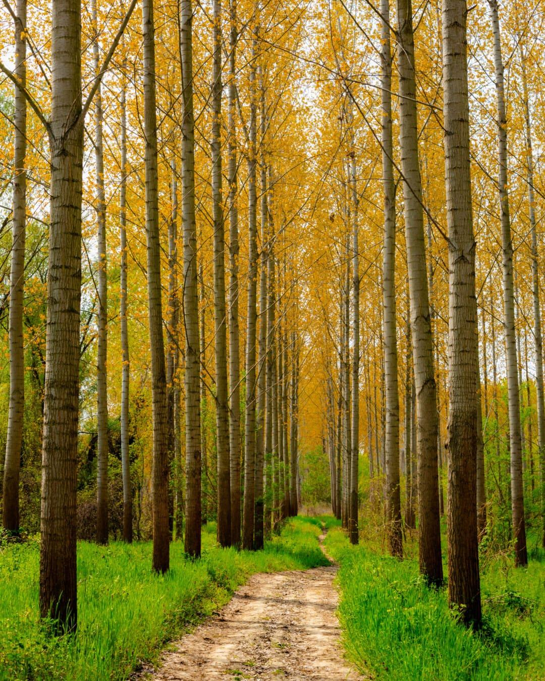 chemin forestier, route forestière, lumière du jour, peuplier, atmosphère, bois, commutateur, nature, paysage, forêt