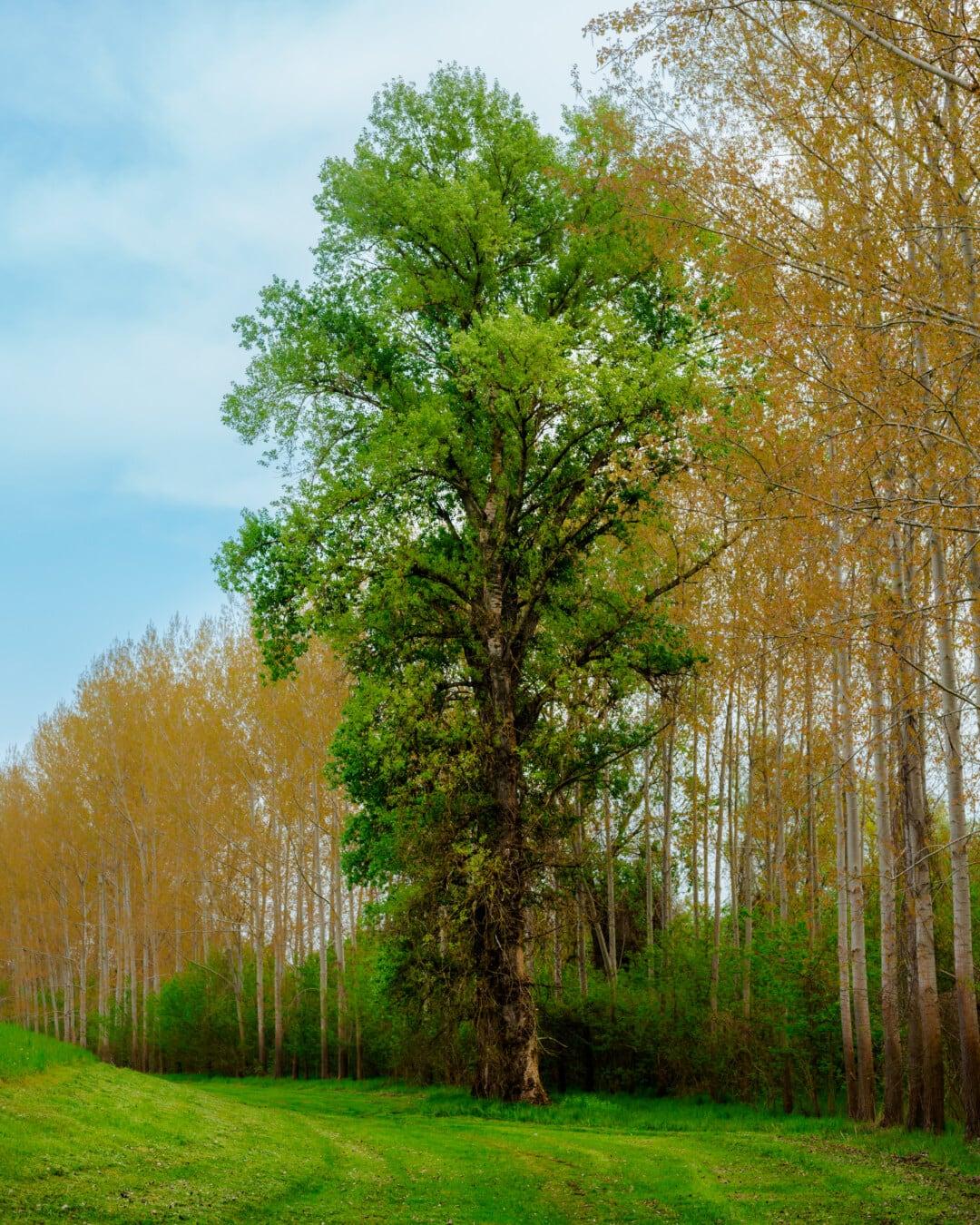Landschaft, Herbst, Wald, Natur, Pappel, Blatt, Struktur, Holz, Schönwetter, Dämmerung