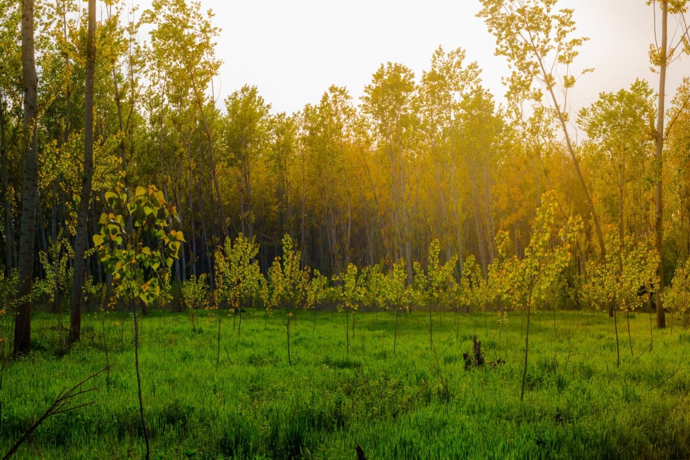 Wald, junge, Bäume, Sonnenstrahlen, Sonnenschein, sonnig, Holz, Struktur, Herbst, Landschaft