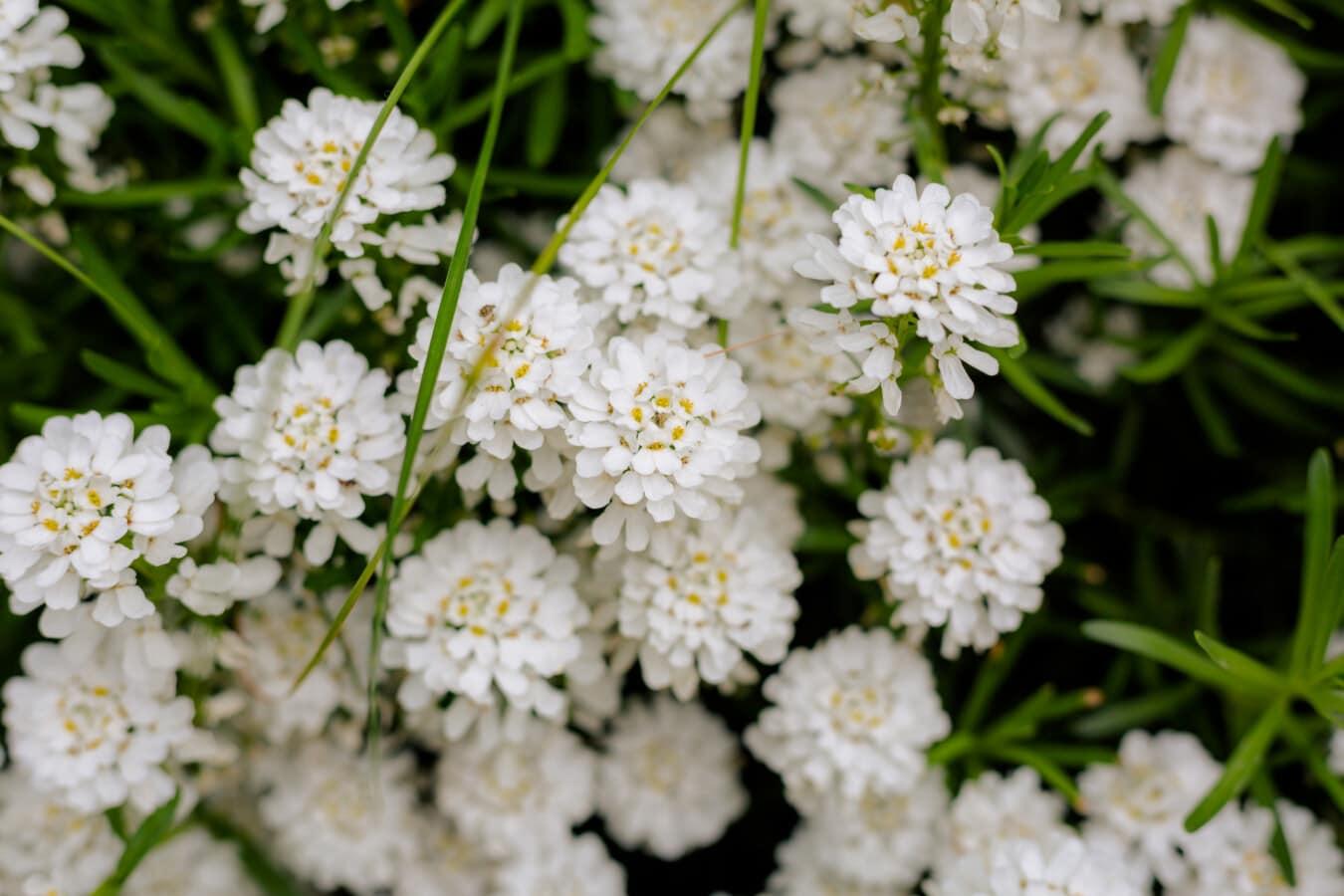 Wildblumen, weiße Blume, grasbewachsenen, Blume, Natur, Kraut, Blüte, Blatt, Anlage, Sommer