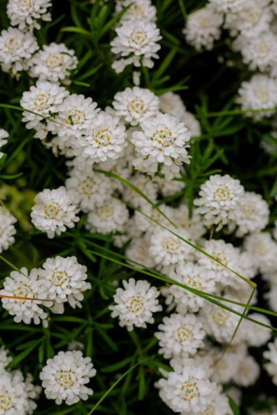 white flower, nature, leaf, flora, summer, plant, herb, flowers, flower, bright