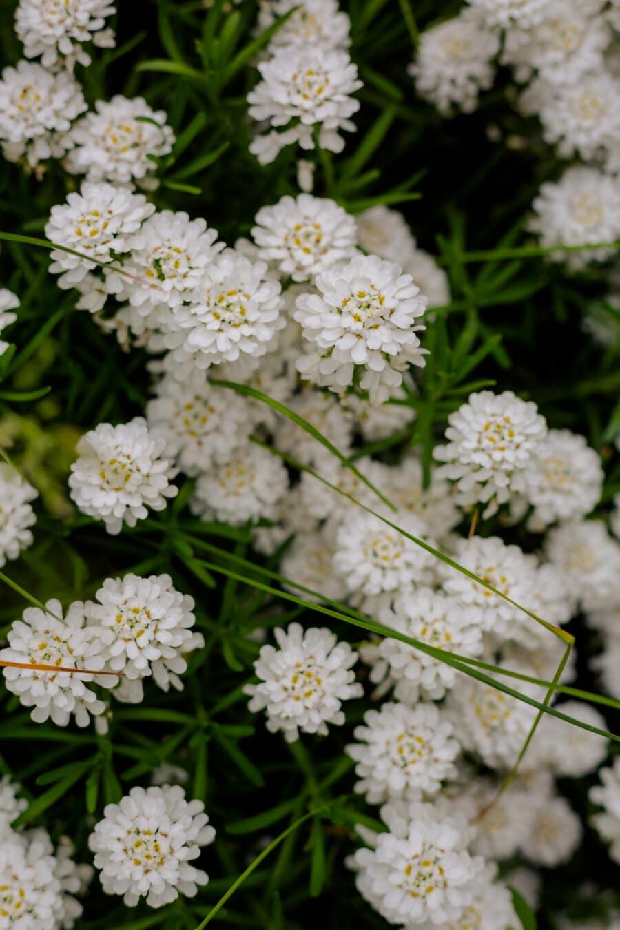 fleur blanche, nature, feuille, flore, été, plante, herbe, fleurs, fleur, brillant