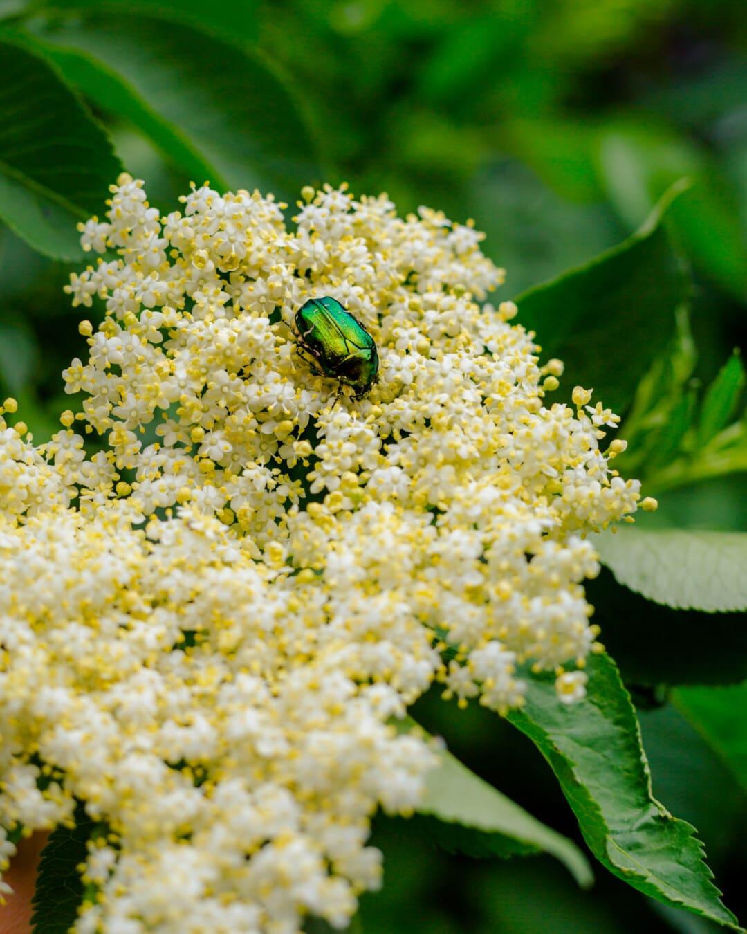 groen, schijnend, kever, insect, kever, witte bloem, bestuiving, natuur, bloem, struik