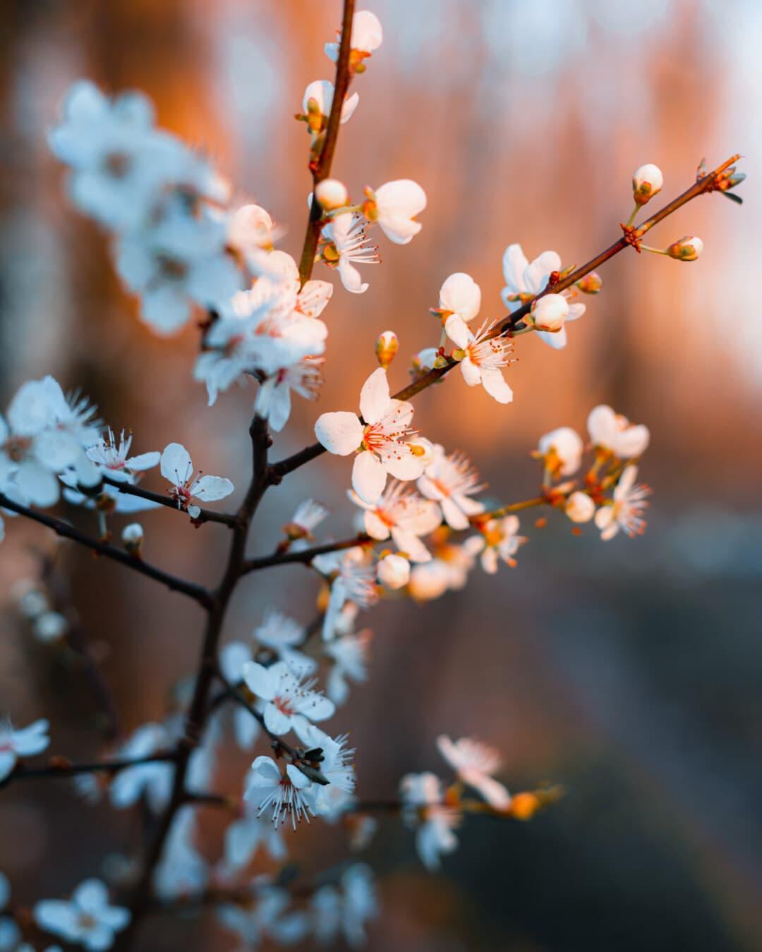 Geäst, Obstbaum, weiße Blume, Frühling, Blatt, Saison, Natur, Ast, Blüte, Struktur