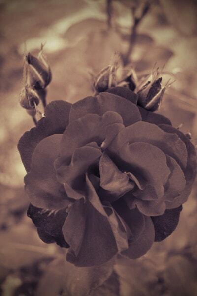 roses, shadow, nostalgia, sepia, beautiful flowers, petal, nature, plant, flower, rose