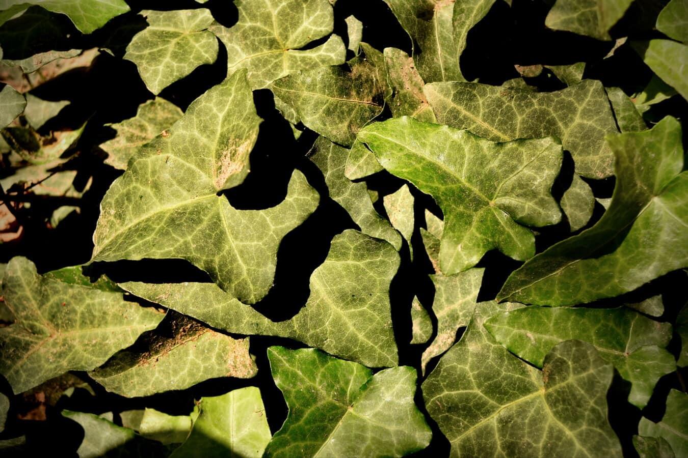 feuilles vertes, lierre, herbe, printemps, ombre, plante, feuille, texture, nature, flore